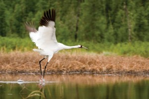 An elegant whooping crane swoops across the wetlands.