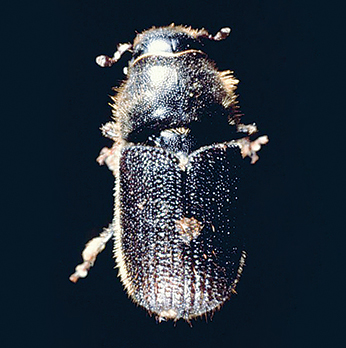 Rice-sized pine beetles have decimated 19 million hectares of forest in B.C. and Alberta.