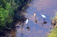 Two whooping cranes and their fledgling are spotted in Wood Buffalo National Park during the Canadian Wildlife Service aerial surveys conducted in mid August.