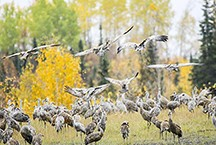 """Several hundred sandhill cranes gather together in a field a bit north of Fort Nelson, B.C. on their way south. Though typically living in pairs or families during the year, the cranes come together during winter or migration to form """"survival groups"""" that forage and roost together, sometimes in the thousands."""