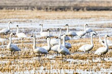 The Northern summer range for tundra swans is expectd to decrease by 45 per cent by 2080, while its southern wintering range will decline by 61 per cent due to climate change.