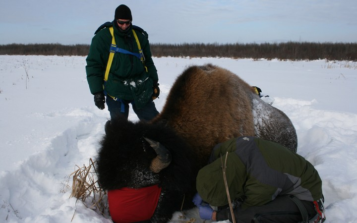 Researchers Adam Hering, bottom right, and Todd Shury take blood samples from a sedated bison to test for tuberculosis. The duo hopes to test 200 bison over three years.