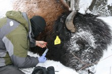 Master's student Adam Hering conducts TB testing on a wood bison earlier this year.