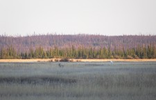 The Standoff: A wolf puts aside its cravings for a feathered supper after an endangered whooping crane demonstrates its sizeable stature. The pair were spotted on the Salt Plains in Wood Buffalo National Park near Fort Smith on Friday evening.