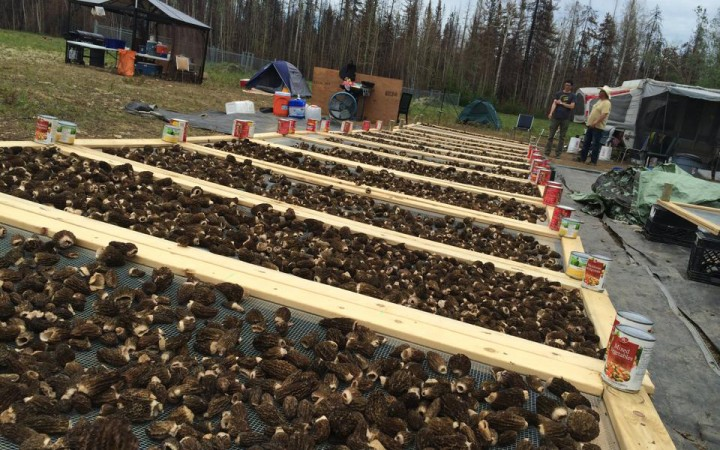 Morels dry in the Dehcho during last summer's harvest. GNWT officials expect this season to be similar to last: short due to a lack of rain, but hopefully sweet. Harvesters in the Dehcho last year earned around $650,000.