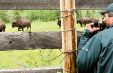 Anthrax confirmed in Wood Buffalo National Park bison