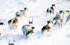 Bathurst, Bluenose-East caribou still in decline: report