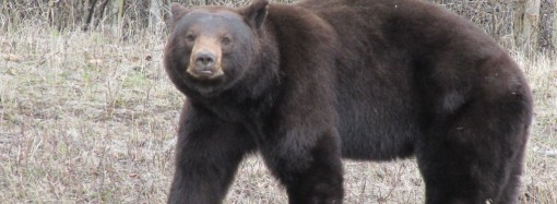Bear sightings at Hidden Lake park
