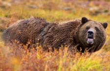Hunter mauled by Grizzly near Yukon-NWT border