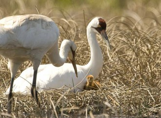 Charges of 'fowl' play in whooping crane slayings